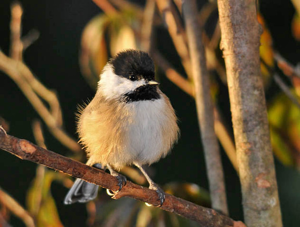 """<div class=""""jaDesc""""> <h4> Young Chickadee Fluffed - September 14, 2010 </h4> <p> It was getting chilly and breezy when this young Chickadee showed up yesterday at dusk. He was nicely fluffed to stay warm.</p> </div>"""