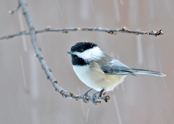 "<div class=""jaDesc""> <h4>Chickadee in Snow Storm - January 3, 2015 </h4> <p> This is one of 8 Chickadees that are hanging around for Winter.  It was a soggy wet snow, so a few flakes were sticking to his head and melting.  He was waiting his turn to grab a sunflower seed.</p> </div>"