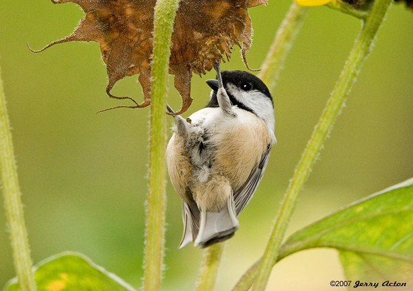 "<div class=""jaDesc""> <h4> Chickadee Upside Down - September 27, 2007 </h4> <p> Our Black-capped Chickadees love it when the sunflowers that volunteer in our yard get mature.  They are often upside down under the seed heads digging out a snack.</p> </div>"