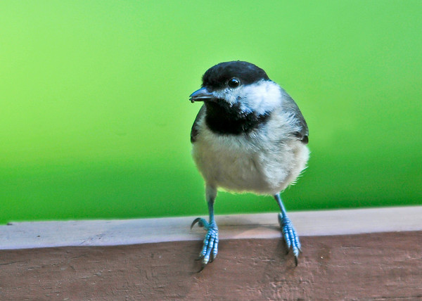 "<div class=""jaDesc""> <h4>Chickadee on Porch Rail - July 9, 2014 </h4> <p> This Chickadee was headed for the bird bath on the porch deck.  He stopped on the rail to check things out first.</p> </div>"