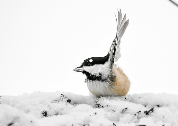"<div class=""jaDesc""> <h4>Chickadee in 30 MPH Wind - January 29, 2019</h4> <p>Our Chickadees were not fazed by the super windy, cold, snowy weather.  One gust blew this guy's wing feathers straight up!</p> </div>"