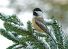 "<div class=""jaDesc""> <h4>Black-capped Chickadee in Snowy Spruce - December 8, 2008 </h4> <p>This chickadee was moving around so fast that it took me 20 minutes to get a mostly focused shot of him.  He was chattering his call everywhere he went.  I think the Chickadees are starting to think about territory and courtship.</p> </div> </br> <center>   </center>"