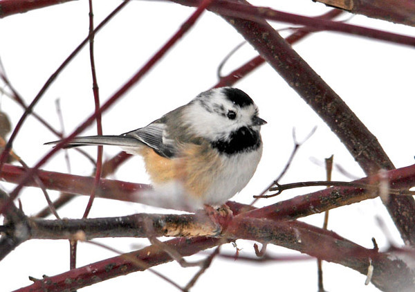 """<div class=""""jaDesc""""> <h4>Leucistic Chickadee - January 12, 2011</h4> <p>  A leucistic Chickadee showed up along with the other dozen or so Chickadees. He has a lot of white on both sides of his face. He is just as speedy as all the rest.</p> </div> <br> <center> <a href=""""http://www.youtube.com/watch?v=55jsG8tBx9Q"""" class=""""lightbox""""><img src=""""http://d577165.u292.s-gohost.net/images/stories/video_thumb.jpg"""" alt=""""""""></a> </center>"""