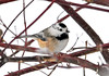 "<div class=""jaDesc""> <h4>Leucistic Chickadee - January 12, 2011</h4> <p>  A leucistic Chickadee showed up along with the other dozen or so Chickadees. He has a lot of white on both sides of his face. He is just as speedy as all the rest.</p> </div> <br> <center> <a href=""http://www.youtube.com/watch?v=55jsG8tBx9Q"" class=""lightbox""><img src=""http://d577165.u292.s-gohost.net/images/stories/video_thumb.jpg"" alt=""""></a> </center>"