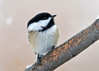 "<div class=""jaDesc""> <h4>Chickadee on Snowy Day - December 14, 2013 </h4> <p> With the recent drop in temperature, we are up to about 10 Chickadees visiting all day long.  Notice all the claw marks in the serviceberry tree branch; this is one of their favorite perches.</p> </div>"