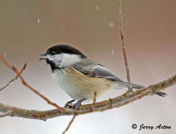 "<div class=""jaDesc""> <h4>Chickadee Singing - November 30, 2008 </h4> <p>The Chickadees are always excited to see me show up with seed in the morning.  They come in to the trees and bushes with nature's surround sound as they chatter away.</p> </div> </br> <center>   </center>"
