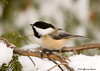 "<div class=""jaDesc""> <h4> Chickadee in Snowy Hemlock - February 2007 </h4> <p> This perky Chickadee pose attracted my attention.  It also attracted the attention of the Washington Post editors.  They published it along with a feature article on the harbingers of Spring.</p> </div>"