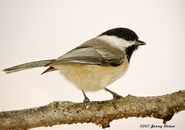 """<div class=""""jaDesc""""> <h4> Black-capped Chickadee Posing - March 2006 </h4> <p> These cheerful, energetic little speedsters are hard to catch without a blur.  Tis one actually stopped to pose for a few seconds.</p> </div>"""