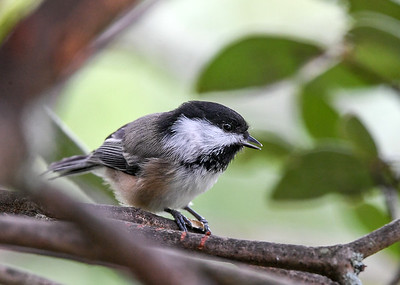 Chickadee Finished with this Seed - August 26, 2020