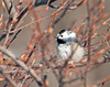 "<div class=""jaDesc""> <h4> Leucistic Chickadee in Serviceberry Tree - January 31, 2011 </h4> <p> She stopped by for an early morning visit.</p> </div>"