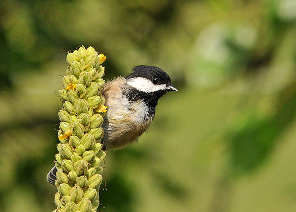 "<div class=""jaDesc""> <h4> Chickadee on Mullein Stalk - July 22, 2010 </h4> <p>Every spring the Chickadees disappear as they move to the woods for nesting season. Today one returned to the yard. He was on a mullein stalk grabbing seeds to eat.</p> </div>"