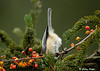 "<div class=""jaDesc""> <h4>Chickadee - Upside Down - November 30, 2008 </h4> <p>This little Chickadee acrobat would do anything to find that last sunflower seed.  Hanging upside down is no problem.</p> </div>"