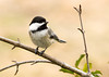 "<div class=""jaDesc""> <h4> Chickadee with Peanut Between Its Claws - April 8, 2008 </h4> <p> This chickadee grabbed a shelled peanut from the feeder and took it to a branch to eat it.  With the peanut tucked between its claws, it pecks away at it a little piece at a time.</p> </div>"
