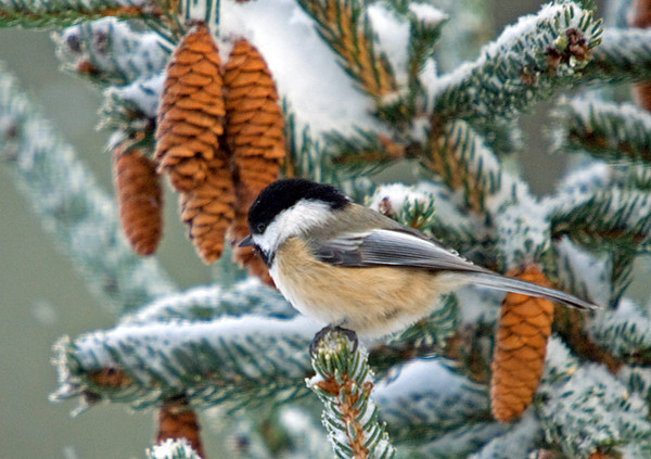 "<div class=""jaDesc""> <h4> Chickadee Among Spruce Cones - December 20, 2008 </h4> <p> Since I started tossing seed into the spruce tree in our front yard, the bird activity there has increased.  I frequently see 6 or more Chickadees and Juncos spread out among the snowy branches.  This Chickadee was in the top of the tree where all the cones are.</p> </div>"