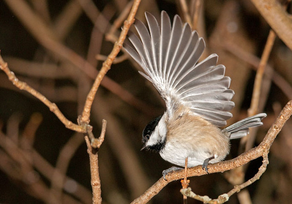 "<div class=""jaDesc""> <h4>Chickadee Wave - January 19, 2011 </h4> <p> I was standing about 10 feet away from this old lilac bush. About a dozen Chickadees were zipping by me to perch on branches near a popular feeder.</p> </div>"