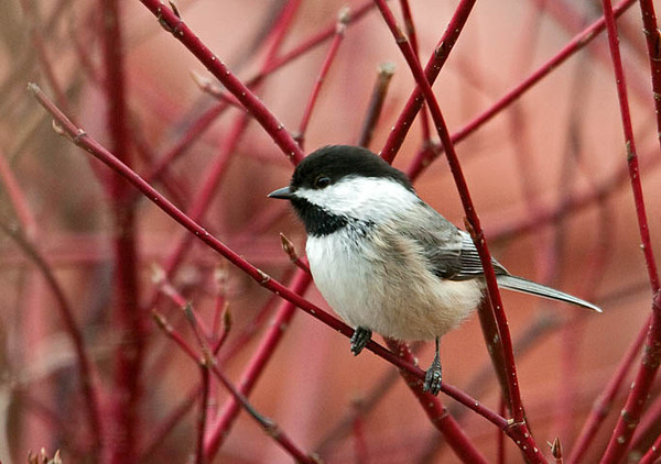 "<div class=""jaDesc""> <h4> Chickadee in Red-twig Dogwood Bush - March 20, 2010 </h4> <p>I love to see the songbird moving around in our red-twig dogwood bushes.  The Chickadees and Juncos spend lots of time in them going to and from the feeders.</p> </div>"