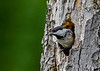 "<div class=""jaDesc""> <h4>Chickadee Waiting for Other Adult - June 3, 2018 </h4> <p>The adult at the nest hole would wait till the other returned before leaving to get food.</p> </div>"
