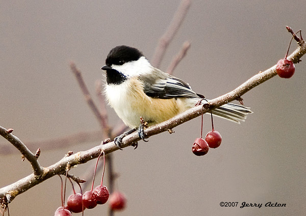 "<div class=""jaDesc""> <h4> Chickadee Among Crabapples - November 2006 </h4> <p> The Chickadees will peck at the crabapples, but they are not a favorite food.  However, it is always a pleasure to see one perched among the crabapples in fall.</p> </div>"