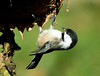 "<div class=""jaDesc""> <h4> Chickadee Acrobatics - October 23, 2008 </h4> <p> The Chickadees seem to enjoy the sunflower seed heads that are facing down.  This guy is dangling from the edge as he picks the sunflower seeds out.</p> </div>"
