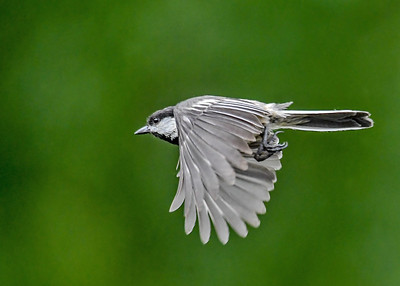 Chickadee Off on Another Run - June 3, 2018  Seems like the parents never take a break.  They were both making food runs all day long.