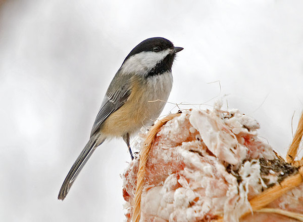 "<div class=""jaDesc""> <h4>Chickadee on Suet - February 3, 2009 </h4> <p>I tried putting out a chunk of raw suet to see which birds would be interested.  the Chickadees were the first, but they were soon followed by the Titmice, Hairy & Downy Woodpeckers and Nuthatches.</p> </div>"