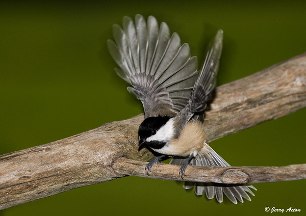 "<div class=""jaDesc""> <h4> Chickadee - Wings Up - September 20, 2007 </h4> <p> Sometimes when I am using fill-flash to photograph birds, they will react to the flash by spreading their wing and tail feathers.</p> </div>"