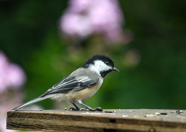 "<div class=""jaDesc""> <h4>Chickadee Claiming Seed - August 10, 2016 </h4> <p>The adult Chickadees are finally back from the woods where they disappear for nesting.  This guy landed with his claw on a sunflower seed as if to say ""this one is mine"".</p> </div>"