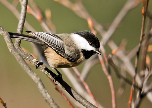 "<div class=""jaDesc""> <h4> Chickadee Headed to Peanut Feeder - November 6, 2012 </h4> <p> One of our 8 regular Chickadees was patiently waiting his turn at the peanut feeder.  There were 2 Blue Jays ahead of him.</p> </div>"