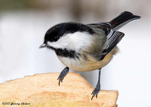 "<div class=""jaDesc""> <h4> Chickadee Looking for Seed - December 27, 2007 </h4> <p>  12 of these little jewels entertain us all day long.  Here is one scanning the sunflower seeds, trying to decide which one he is going to go after.</p> </div>"