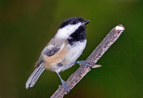 """<div class=""""jaDesc""""> <h4> Chickadee Waiting for His Turn - October 13, 2008 </h4> <p> I caught this guy on his way to get a sunflower seed.  He was waiting for a Titmouse to get one first.</p> </div>"""