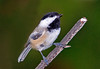 "<div class=""jaDesc""> <h4> Chickadee Waiting for His Turn - October 13, 2008 </h4> <p> I caught this guy on his way to get a sunflower seed.  He was waiting for a Titmouse to get one first.</p> </div>"