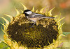 "<div class=""jaDesc""> <h4> Chickadee on Dinner Plate - October 11, 2007 </h4> <p> The black-oiled sunflowers that volunteer in our backyard provide great dinner plates for the Chickadees.</p> </div>"