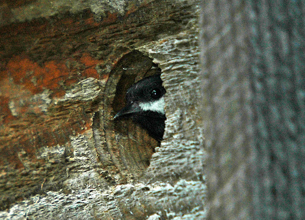 "<div class=""jaDesc""> <h4> Mom Chickadee Peeking Out - June 27, 2006</h4> </div>"