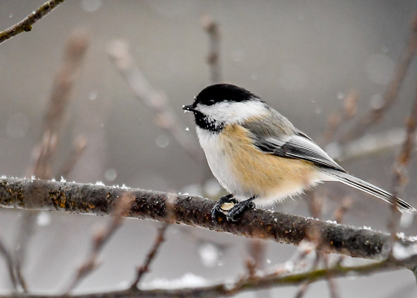 """<div class=""""jaDesc""""> <h4>Chickadee on Icy Branch - January 16, 2018 </h4> <p>I toss out a pint of shelled peanuts every morning, a favorite of the Chickadees.  They hold the peanut between their claws and peck away at it.</p> </div>"""