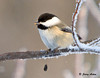 "<div class=""jaDesc""> <h4>Chickadee with Sunflower Seed - January 20, 2009 </h4> <p>This Chickadee successfully extracted the sunflower seed heart and dropped the shell.</p> </div>"
