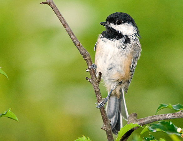 """<div class=""""jaDesc""""> <h4> Adult Chickadee Posing - August 7, 2008 </h4> <p> The Chickadees are so tame.  This guy was only 4 feet away and not worried about my presence or my big lens pointed at him.</p> </div>"""