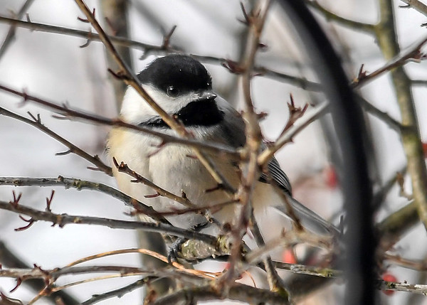 """<div class=""""jaDesc""""> <h4>Chickadee in Bush - December 28, 2017 </h4> <p>These little speedsters don't give me many opportunities for nice shots.  This one actually hesitated for half a second, before darting to the seed tray.</p> </div>"""