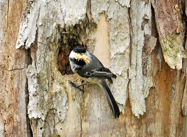 """<div class=""""jaDesc""""> <h4> Chickadees Excavating Nest - May 1, 2010 - Video Attached </h4> <p> While on a bird watching hike, one of the birdwatchers noticed a Chickadee disappear into a hole in a dead tree.  Then we realized a pair of Chickadees were removing beaks full of dead wood chips from what will be their nest this year.</p> </div> </br> <center> <a href=""""http://www.youtube.com/watch?v=fptoOAIsrPY"""" class=""""lightbox""""><img src=""""http://d577165.u292.s-gohost.net/images/stories/video_thumb.jpg"""" alt=""""""""/></a> </center>"""
