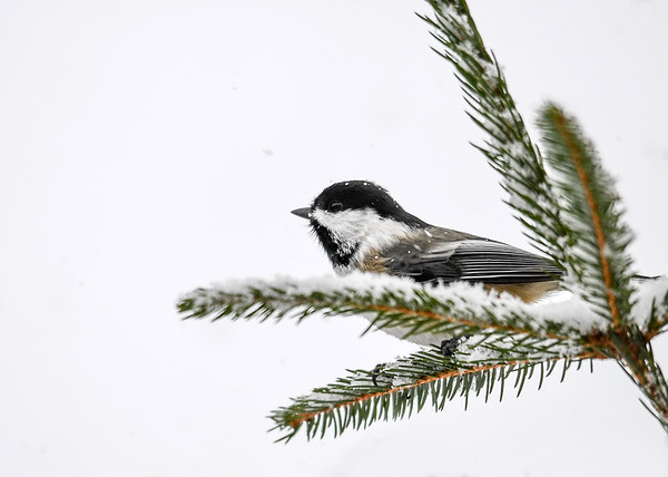 "<div class=""jaDesc""> <h4>Chickadee in Snow - December 9, 2016 </h4> <p>When it starts to snow, all the birds arrive to tank up.  We have 8 Chickadees that speed around.  I managed to catch a shot of this one with a few snowflakes stuck to the feathers.</p> </div>"
