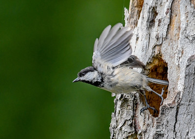 Chickadee Take-off from Nest Hole - June 3, 2018  The nest is in a very soft totally rotten section of a tree I brought down from the woods.  I propped it against a fence intending to use it as a suet log.  The Chickadees had other plans for it.