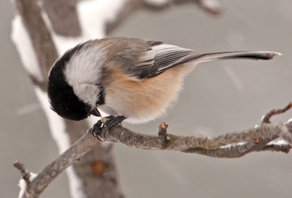 "<div class=""jaDesc""> <h4>Chickadee Eating Seed - January 13, 2012 </h4> <p> About the only time I have much of a chance at getting these guys is when they stop to eat a seed. The wind was blowing 30 MPH with below zero windchill, but this little Chickadee was out in the open branches pecking away at his sunflower seed.</p> </div>"