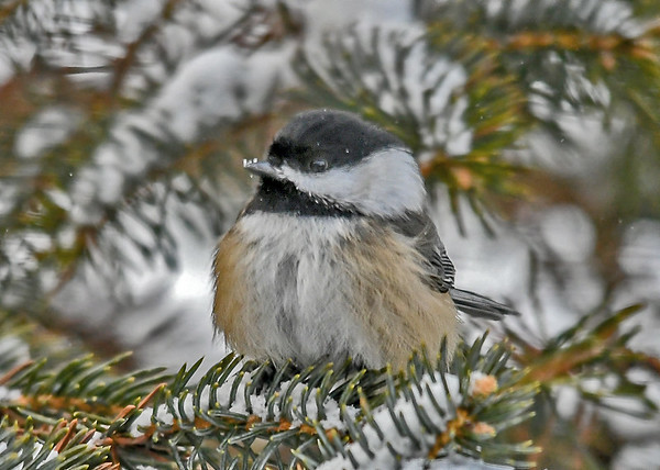 """<div class=""""jaDesc""""> <h4>Chickadee in Snowy Spruce Tree - January 7, 2019</h4> <p>This sweet Chickadee was hanging out in a spruce tree on a snowy day looking for  seeds I toss into it.</p> </div>"""