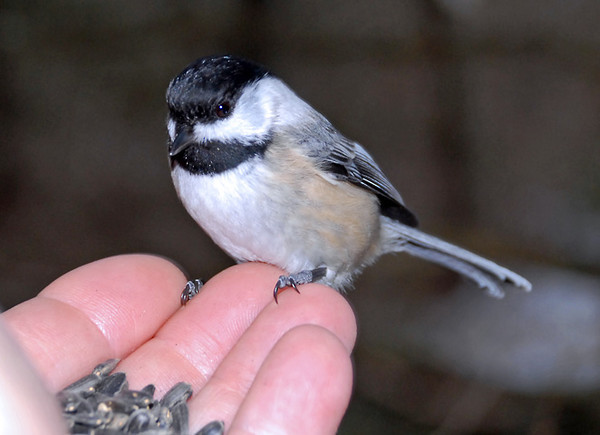 """<div class=""""jaDesc""""> <h4>Chickadee - Bird in Hand - Amherst Island - January 30, 2012 </h4> <p> While bushwhacking in Owl Woods looking for owls, a Chickadee kept following me around hoping for treats. So I put some seed in one hand and extended my arm full length. With my other hand I held my backup camera with wide angle lens next to my chin guessing on my aim and fired away. He paused for several seconds before grabbing a seed - what a thrill!</p> </div>"""