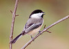 "<div class=""jaDesc""> <h4> Black-capped Chickadee Singing - January 9, 2008 </h4> <p>  12 of these little jewels entertain us all day long.  Here is one scanning the sunflower seeds, trying to decide which one he is going to go after.</p> </div>"