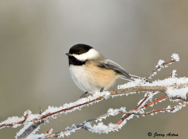 "<div class=""jaDesc""> <h4>Chickadee on Snowy Branch - January 20, 2009 </h4> <p>I caught this guy on a snowy branch early in the morning before the frosty covering melted.</p> </div>"