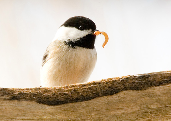 "<div class=""jaDesc""> <h4> Black-capped Chickadee Feasting- January 2007 </h4> <p>  When the Bluebirds fail to show up for breakfast, who do you think gets the mealworms?  Since the Bluebirds have not been around for almost a week now, the Black-capped Chickadees have been feasting.</p> </div>"