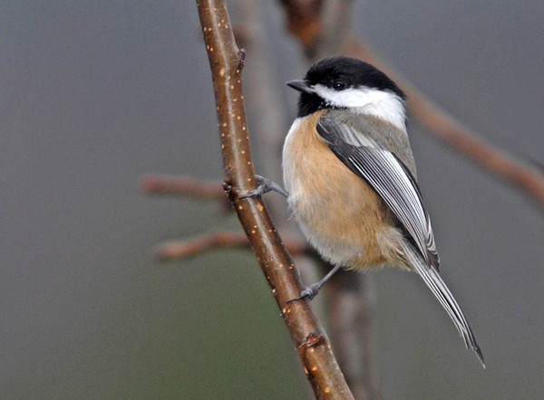"""<div class=""""jaDesc""""> <h4>Proud Chickadee - November 22, 2009 </h4> <p>I spent some time with my camera and tripod in close to the feeder area to get shots of Chickadees.  They don't mind my presence and let me get very close for photos.  They are little speed demons, so it is hard to keep them in the frame.</p> </div>"""