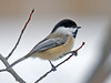 "<div class=""jaDesc""> <h4> Chickadee on Twig - November 18, 2008 </h4> <p> I love the light peachy coloring of their sides.  This guy stopped for several seconds in perfect light.</p> </div>"