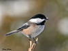 """<div class=""""jaDesc""""> <h4>Chickadee with Snow on Beak - January 9, 2010 </h4> <p>This cute little guy landed on the top of a viburnum bush branch. He still had snow on his beak from the last sunflower seed he dug out of the fresh snow.</p> </div>"""