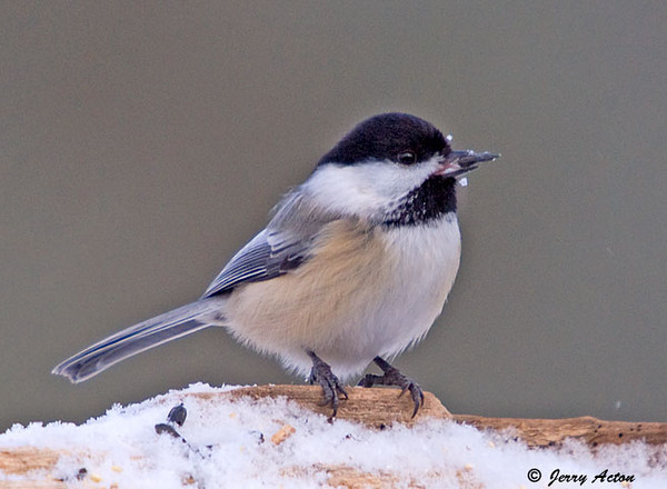 """<div class=""""jaDesc""""> <h4>Chickadee with Sunflower Seed - December 8, 2008 </h4> <p>It takes only about a second for a chickadee to arrive at the feeder log, grab a seed and leave.  So when I am photographing Chickadees, a lot of the photos have no bird in them.  I managed to catch this guy as his head came up with a seed and a few snowflakes went flying off.</p> </div>"""